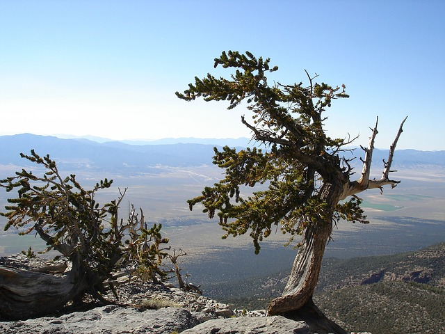 a lone tree at Great Basin National Park
