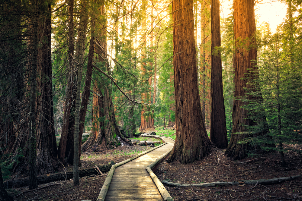 Sunset on the Forest Path, Sequoia National Park, California