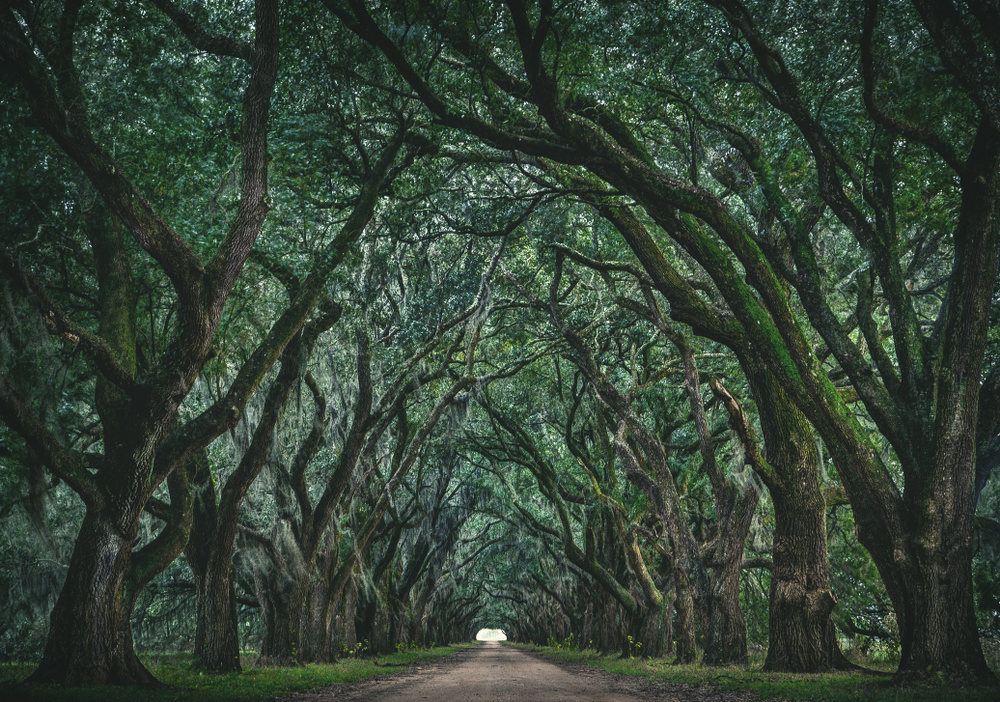 Evergreen Plantation's tunnel of full green trees in the summer
