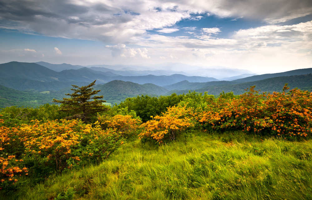 Orange azalea blooms line the grassy edge of a mountain, looking out over a forested valley of mountains under a cloudy sky.