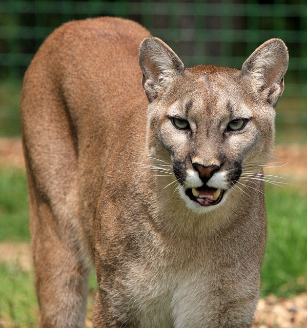 a mountain lion looking ready to pounce at the camera