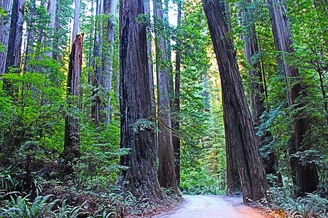 tall redwood trees at Redwood National Park