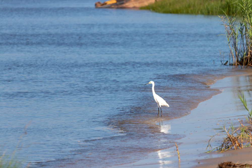 A snowy egret meanders the shore of Bay Springs Lake
