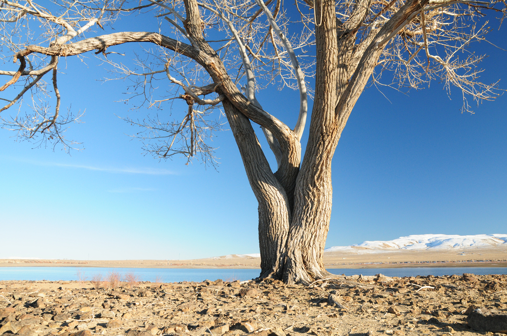 A lone cottonwood tree with twisted trunk stands in the stark landscape of Lahontan Reservoir at Lahontan State Recreation Area in Northern Nevada, United States of America on a sunny winter day.