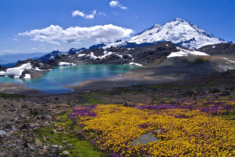 A carpet of purple and gold wildflowers blooms along a mountain lake with a snowcapped mountain in the background