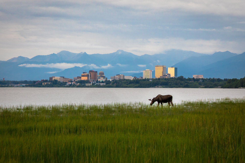A moose grazes in a field of tall grass next to a lake. A cityscape sits on the far shore in front of snow capped mountains.